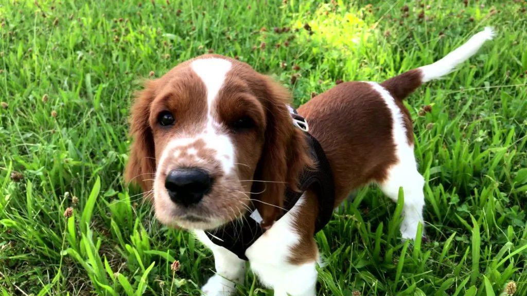 Puppy Springer Spaniel